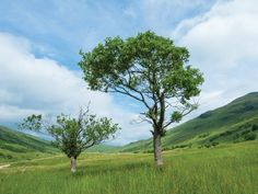 Alder tree in a field