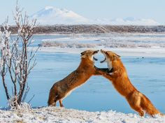Beautiful shot of two foxes sparring in Alaska
