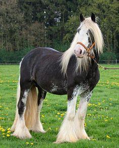 Black silver dapple Gypsy Vanner stallion ITS Elvis. Posed.
