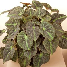 Barsaloux's Begonia (Begonia barsalouxiae) - B - Browse by Common Name