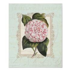 Vintage Pink and White Camellia Shabby Chic Elegance - Poster Print