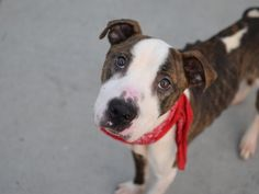 SAFE 6-14-2015 by Pet Rescue NY --- Brooklyn Center RILEY – A1038390  MALE, BR BRINDLE / WHITE, AM PIT BULL TER MIX, 1 yr STRAY – STRAY WAIT, HOLD FOR LEGAL Reason STRAY Intake condition EXAM REQ Intake Date 06/01/2015