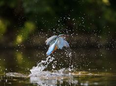 Photographer Andrew Mason set up a hide next to the River Dove in Staffordshire and waited patiently. He was rewarded with this shot of a mother kingfisher, minnow in mouth, emerging from the water. Picture: Andrew Mason/FLPA/Solent News & Photo Agency