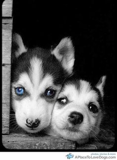 These two Husky puppies are adorable! ^_^