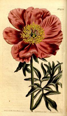 Peonia humilis. v.35-36 (1811-1812) - Curtis's botanical magazine. - Biodiversity Heritage Library