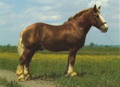 The Murakoz  (Muraköz) is a medium-sized draft horse with a kind temperament, strength and a willingness to work. It was developed in south Hungary.