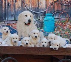 British Creme Golden Retriever Puppies | English Cream Golden Retriever Puppies #goldenretriever
