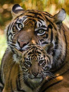 Afbeeldingsresultaat voor tiger with cubs