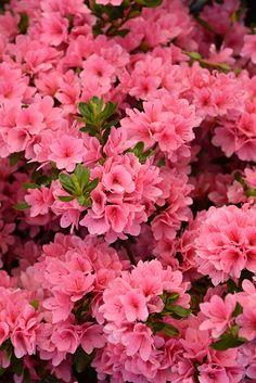 Find Coral Bells Azalea (Rhododendron U0027Coral Bellsu0027) In Wilmington  Hampstead Jacksonville Onslow Hanover North Carolina NC At Pender Pines Garden  Center ...