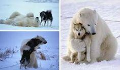 Incroyable des ours polaire s'amusent avec des chiens !