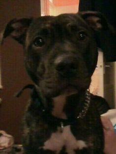 Marnie #dog #pitbull