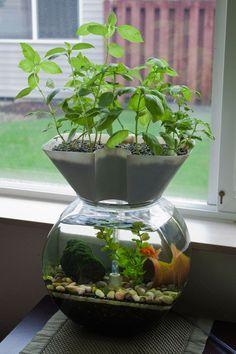 魚と植物を一緒に育てる「アクアポニックス」。アメリカ発で「未来の農業」とも言われ、今注目を浴びています。魚を育てている水槽の水で、植物や野菜を育てる。生態系の仕組みが俯瞰して見れる面白さもあるけれど、インテリアとしても涼しげで、魚が泳ぐ様や植物の成長が楽しめておもしろい♪手軽に始められるアクアポニックスの、奥深い世界を覗いてみよう。