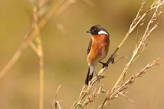 African Stonechat. How to #photograph #birds on #safari. #Africa #Travel #Wildlife