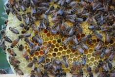 The girls hard at work, feeding babies, putting away stores. The bright orange color that you see is pollen. Funny, they don't mix pollen. The shinny clear substance is probably royal jelly. Royal jelly is fed to all larvae for the first three days after hatching from the egg. Worker and drone larvae are then weaned on to a mixture of royal jelly, pollen and honey. Queen larvae are fed exclusively on royal jelly right up to the point the cells are capped and they pupate.