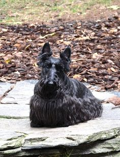 Shofarr Phoebe of Meadowbrook, Scottish Terrier