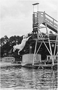A diving horse is an attraction that was popular in the mid 1880s, in which a horse would dive into a pool of water, sometimes from as high as 60 feet.