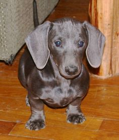 Blue Doxie..how many colors do they come in..its a universe of doxie..we r in doxie heaven