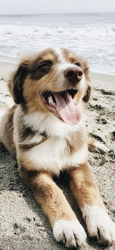 Everything About The Exuberant Australian Shepherd Puppies Size Australian Shepherd Puppies, Aussie Dogs, Australian Shepherds, Cute Baby Animals, Animals And Pets, Funny Animals, Cute Puppies, Cute Dogs, Dogs And Puppies