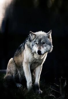 Beautiful Wolves : Wolf (by Andy Wells) Wolf Photos, Wolf Pictures, Wolf Spirit, My Spirit Animal, Beautiful Creatures, Animals Beautiful, Wolf Life, Wild Wolf, Beautiful Wolves