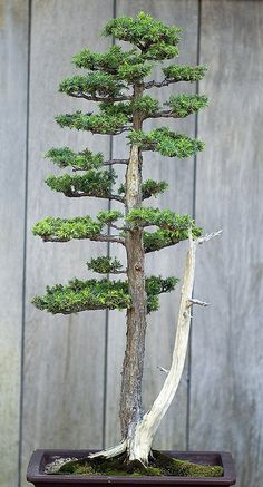 beautiful bonsai!