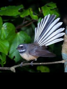 Fantail (piwakawaka) in flight. (Rhipiduridae) Fantails use their broad tails to change direction quickly while hunting for insects, which they do in flight. Beautiful Birds, Animals Beautiful, Animals And Pets, Cute Animals, Nz Art, Maori Art, Kiwiana, Wildlife Nature, Colorful Birds