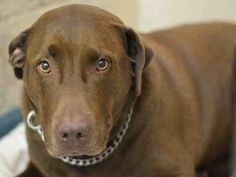 ●3•9•16 STILL THERE●COOPER - A1065688 - Urgent Brooklyn - NEUTERED MALE BROWN LABRADOR RETR/PIT BULL, 5 Yrs - OWNER SUR - EVALUATE, HOLD FOR ID Reason ATT PEOPLE - Intake 02/21/16 Due Out 02/21/16