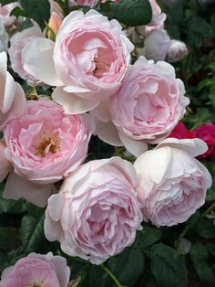Photo of Rose (Rosa 'Alan Titchmarsh'). Photo Location: Albrighton, England on Caption: Photo taken at David Austin Roses. Beautiful Roses, Beautiful Gardens, Beautiful Flowers, Exotic Flowers, Purple Flowers, Flower Boxes, My Flower, Cactus Flower, Ikebana