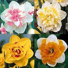 Double Daffodil's