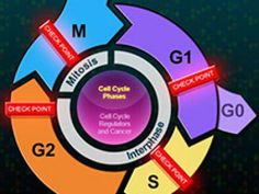 Biointeractive Homepage | HHMI BioInteractive.  The Eukaryotic Cell Cycle and Cancer