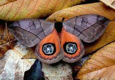 Automeris is a genus of moths in the Saturniidae family, Hemileucinae subfamily.