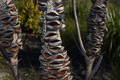 Banksia ericifolia subsp. macrantha, Lennox Head heathlands Trypophobia, Australian Plants, Planting Flowers, Seeds, Rado, River, Color, Photos, Pictures