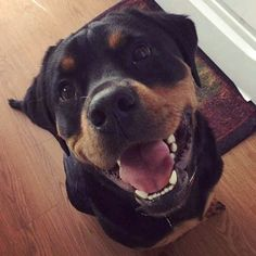 Vicious Rottweiler baring his teeth  http://ift.tt/2mCdDoi