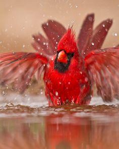 """Northern Cardinal Roter Kardinal - hatte früher auch den Beinamen """"Virginische Nachtigall"""". Sein Gesang ist allerdings mit dem einer Nachtigall nicht vergleichbar."""