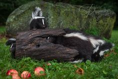 """Three Sets of Eyes and a Butt"" - Striped Skunk (Mephitis mephitis) Family with Log and Apples - captive animals Holly Kuchera photo taken: Striped Skunk, Big Dogs, Panda Bear, Skunks, Eyes, Apples, Artwork, Animals, Photos"