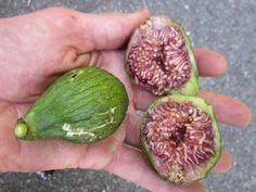The six types of figs and health benefits  White figs (Adriatic), Sierra, Black Mission, Calimyrna (=Turkish), Kingfig, Kadota (less sweet, light green skin). Also found Pajarero figs on other site