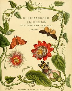 butterflies of surinam (and passion vine?)