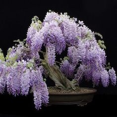 Flowering bonsai trees,Wisteria