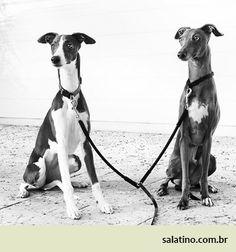 Italian Greyhound Salatino duo. #dog #salatino #clubesalatino #canil #perro #dogs #cute #love #nature #animales #dog #ilovemydog #ilovemypet #cute #galgos #greyhound #galgoespanhol #galgo