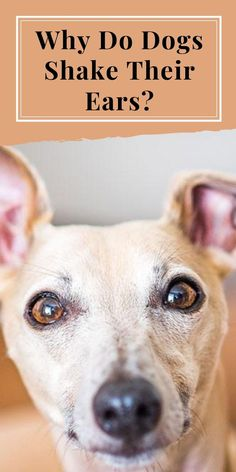 There is a difference between a dog who shakes his head here and there on occasion and one who shakes his head frequently #doghealth #dogcare #dogcaretips #dogcareadvice #doghealthtips #doghealthtipspetcare #doghealthtipswarningsigns ##doghealthadvice Dog Care Tips, Pet Care, Whoodle Dog, Dog Growling, Tiny Dog Breeds, Dog Shaking, Dog Commands, Dog Health Tips, Cute Dog Pictures