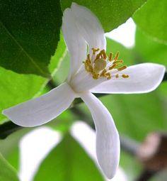Fiore di zagara