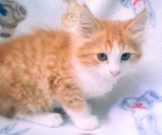 Meet Cinnamon 22430, a Petfinder adoptable Domestic Long Hair Cat | Prattville, AL | Cinnamon is a 9-week old, long-haired, orange and white female kitten.Dogs and puppies may be...