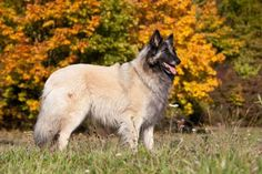 From the Skye terrier to the curly-coated retriever, PetBreeds used the latest American Kennel Club data to find the least popular purebreds in the U. Curly Coated Retriever, Belgian Tervuren, Skye Terrier, Popular Dog Breeds, Husky, America, Pets, Life, Animals