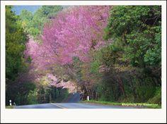 ซากุระเมืองไทย ที่อ่างขาง http://www.tripchiangmai.com/chiangmaiboard/index.php/topic,5488.0.html#.Uq5wI9JdXnM