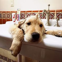 """Golden Retriever ~ Classic """"Bath Time"""" Look Animals And Pets, Baby Animals, Funny Animals, Cute Animals, Cute Puppies, Cute Dogs, Dogs And Puppies, Doggies, Silly Dogs"""