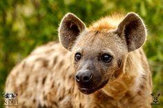 Curious hyena inyatisafari #safarivacation #wildlifephotography #AmazingAfrica