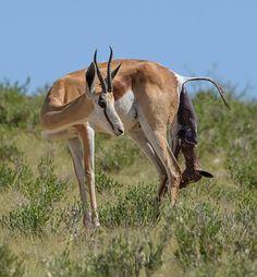 Springbok (Antidorcas marsupialis), a female gives birth at Kgalagadi Transfrontier Park in Botswana. ©Greatstock / Barcroft Images