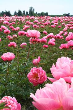 i think i just want a field of peonies...my favorite!!