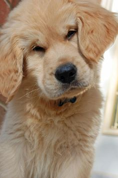 Golden Retriever Pup - it's such a shame these little guys shed. I'd love it. (poodles hair spoils it for shedding dogs)