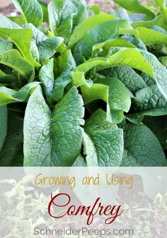 Growing comfrey is a great addition to your garden. Comfrey is easy to grow, can be used in the garden, for livestock and for herbal remedies. Learn how to grow comfrey and use it. Growing Herbs, Growing Vegetables, Permaculture, Organic Gardening, Gardening Tips, Vegetable Gardening, Container Gardening, Pallet Gardening, Flower Gardening