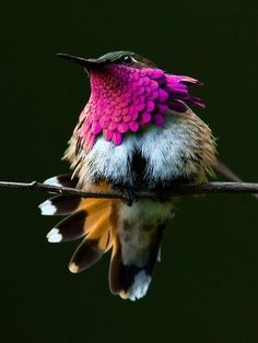 새, 와인 throated 큰 벌새